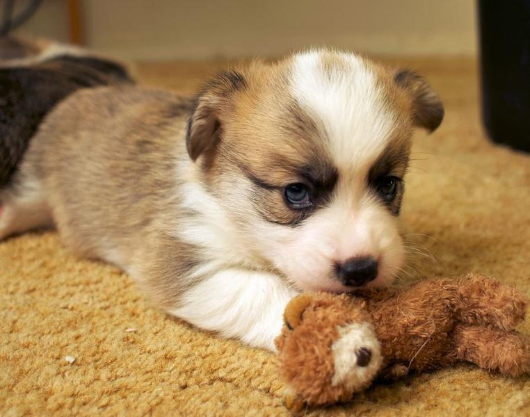 Young welsh corgi puppy playing with its dog toy.JPG