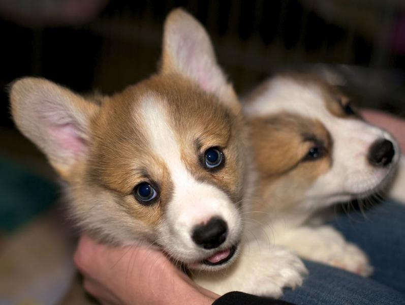Beautiful puppy pictures of corgi puppies in tan whit.JPG