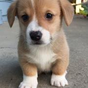 Close up puppy picture of corgi dog in tan white.JPG