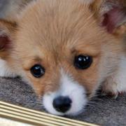 Cute puppy face photo of Corgi dog.JPG