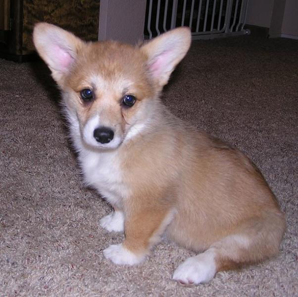 Short legged dog photo of welsh corgi pup in tan cream.JPG