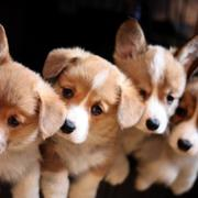 Tan white Welsh corgi breeders pictures.JPG