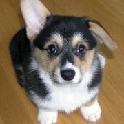 Three toned Welsh Corgi pup picture.JPG