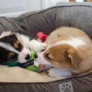 Two welsh corgi puppies playing in dog bed.JPG