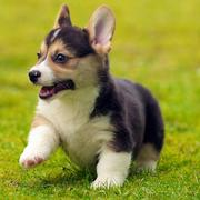 Welso corgi puppy running in the grass.JPG