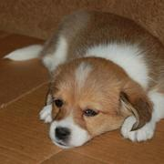 Young puppy picture of young welsh corgi dog in tan and white.JPG