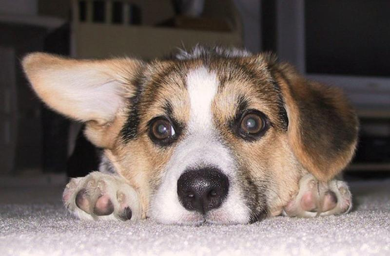 Adorable dog face picture of corgi puppy.JPG