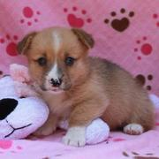 Adorable puppy image of corgi dog in tan with white patterns and unique patterns on the nose.JPG