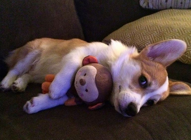 Cute dog picture of welsh corgi puppy hugging his dog toy.JPG