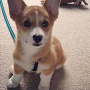Short legs and long ears dog picture of welsh corgi.JPG