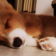 Sleeping puppy  picture of little corgi dog.JPG