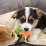 Two  welsh corgi puppies photos.JPG