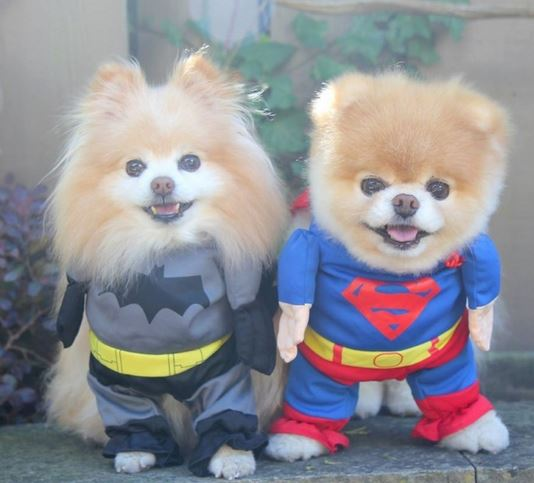 Cute dog halloween costumes of superman dogs costumes.JPG