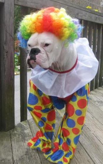 & Pet halloween picture of Clown Costumes for Boxer Dog.JPG