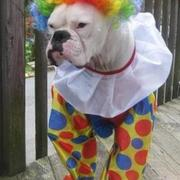 Pet halloween picture of Clown Costumes for Boxer Dog.JPG