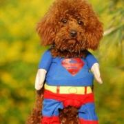Super cute and funnny dog halloween costumes of super hero halloween costume for small dogs.JPG