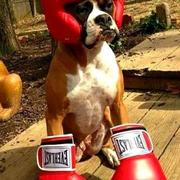 Boxer dog halloween costume picture.JPG