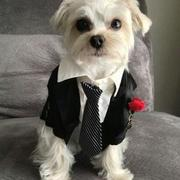 Dog Suit perfect for dog tuxedo halloween costume picture.JPG