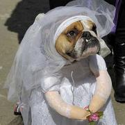 Fun dog costumes picture of dog bride costume perfectl for halloween.JPG