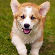 Running welsh corgi dog picture.JPG