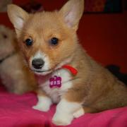 Welsh Corgi breeds photo.JPG