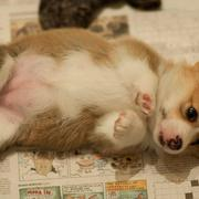 Cutest puppy picture of a welsh corgi dog in tan and white.JPG