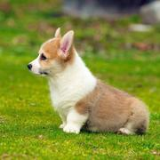 Dogs with short legs in tan and white and it is welsh corgi.JPG