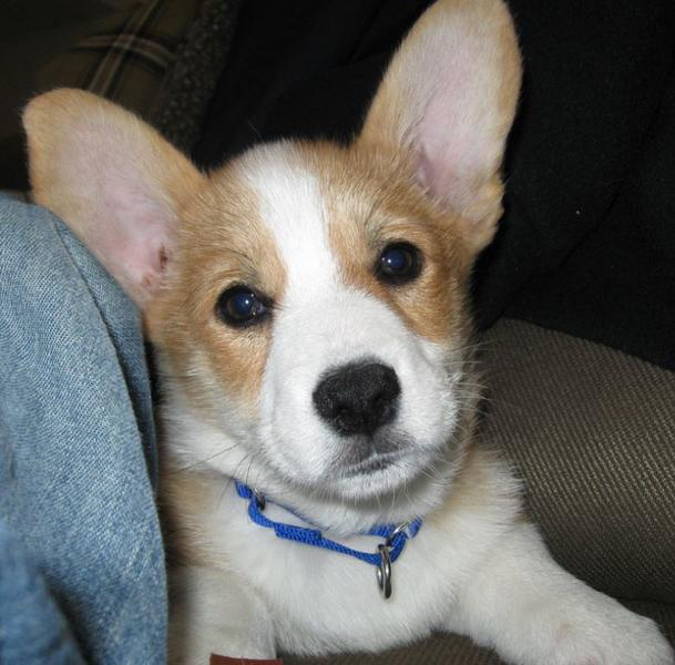 Long ears dog picture welsh corgi puppy in white tan.JPG