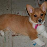 Short legged puppy picture of welsh corgi dog in tan and white.JPG