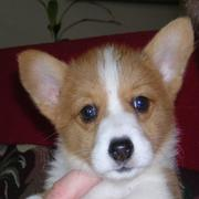 Welsh corgi puppy face picture.JPG