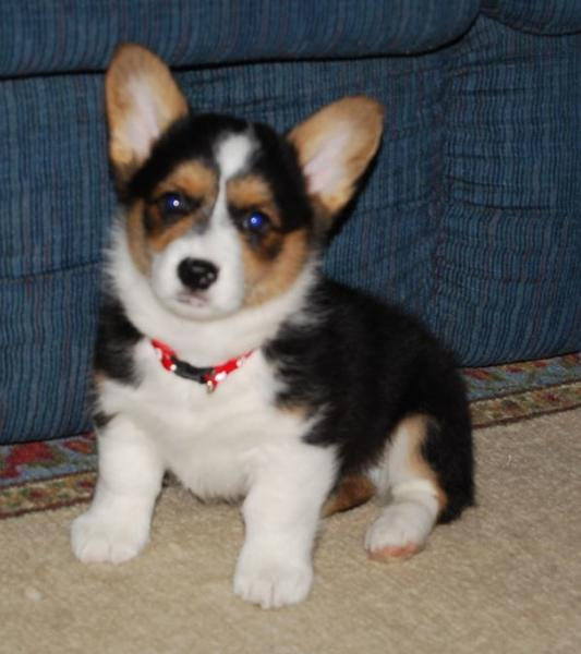 Welsh corgi puppy with lon ears.JPG
