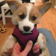Welsh corgi puppy with lon g ears and short legs.JPG
