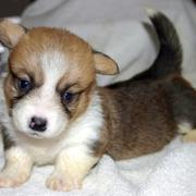 Young welshi corgi puppy in three tones.JPG