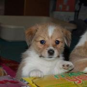 Welsh corgi puppys photos.JPG