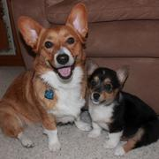 Two dogs pictures of welsh corgi puppies.JPG
