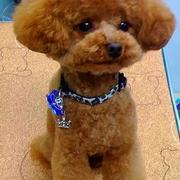 Japanese poodle grooming cuts pictures.JPG