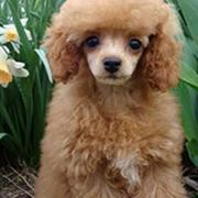 Poodle Puppies Pictures
