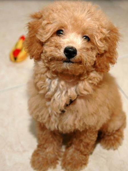 Light brown toy poodle dog picture.JPG