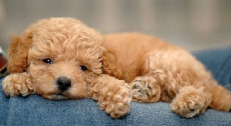 Light brown toy poodle puppy chilly out.JPG