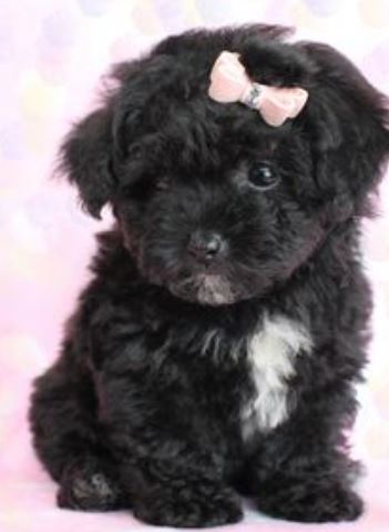 Little black dogs picture of young poodle puppy in black with white patterns.JPG