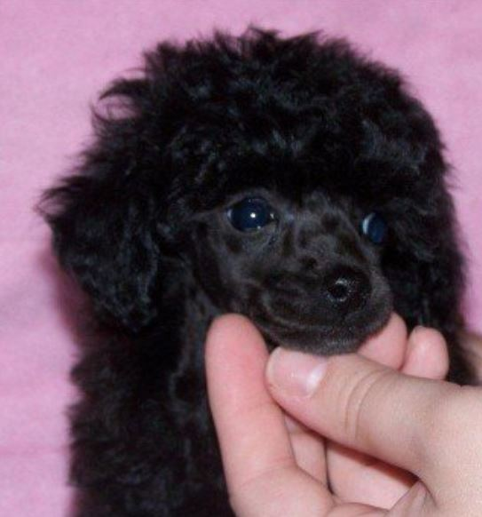 Little black poodle with long ears.JPG