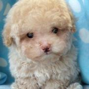 little cream toy poodle puppy image.JPG