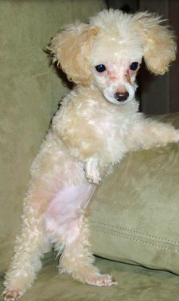 Little skinny toy poodle puppy in cream color with long ears.JPG