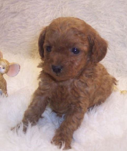 Little teacup poodle puppy photos.JPG
