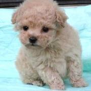 Little teacup toy poodle pup picture in cream.JPG