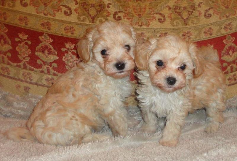 Maltese Poodle Cross Puppies photos.JPG