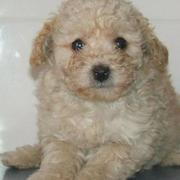 Matlese poodle puppy picture.JPG