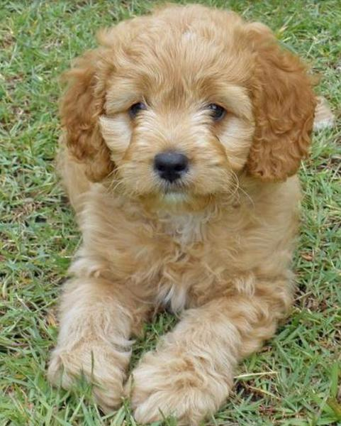 Mixed Poodle Cocker Spaniel dog laying on the grass.JPG