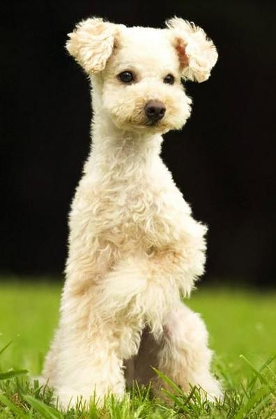 Mixed poodle dog picture.JPG