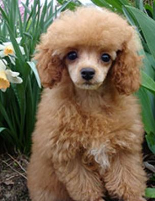 Poodle dog haircuts ideas.JPG